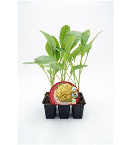 Pack Coliflor Cheddar 6 Ud. Brassica oleracea var. botrytis - 02031084 (1)