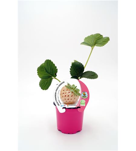 Fresa Ananas M-10,5 Fragaria × ananassa - 02037002 (1)