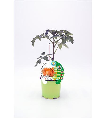 Tomate Injertado F1 Supersteack M-10,5 Solanum lycopersicum - 02036003 (1)