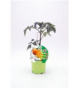 Tomate Injertado Ananas M-10,5 Solanum lycopersicum - 02036005 (1)