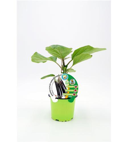 Berenjena Injertada F1 Mistral M-10,5 Solanum melongena - 02036011 (1)