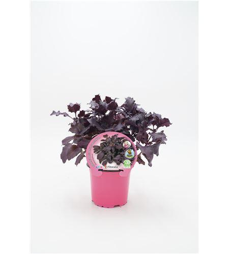 Albahaca Púrpura M-10,5 Ocimum basilicum - 02030025 (1)
