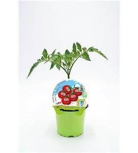 Tomate Cherry KIDS M-10,5 Solanum lycopersicum - 02034006 (1)
