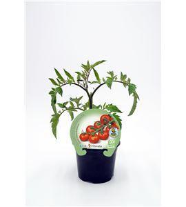 Tomate Cherry Redondo M-10,5 Solanum lycopersicum - 02025007 (1)
