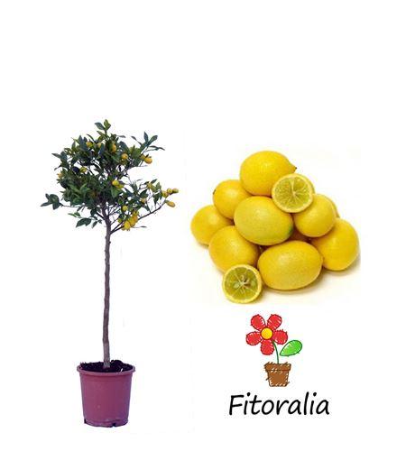 Limequat 10 l (M-25) - Citrofortunella × floridana - 03051005 (0)