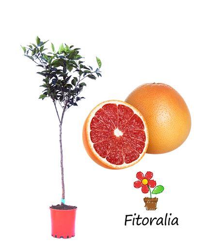 Pomelo 10 l (M-25) - Citrus × paradisi - 03051013 (0)