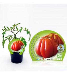 Tomate Corazón de Buey M-10,5 Solanum lycopersicum - 02025013 (1)