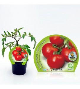 Tomate Racimo M-10,5 Solanum lycopersicum - 02025018 (1)