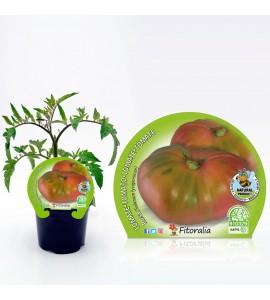Tomate Rosa M-10,5 Solanum lycopersicum - 02025020 (1)