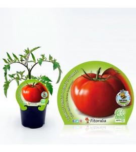 Tomate Tres Cantos M-10,5 Solanum lycopersicum - 02025098 (1)