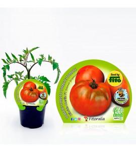 Tomate Ensalada Híbrido M-10,5 Solanum lycopersicum - 02025012 (1)