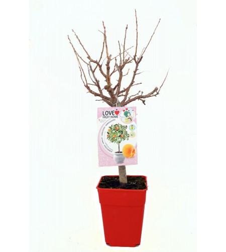 Albaricoquero Enano Garden Aprigold 5l - Prunus armeniaca - 03055001 (1)