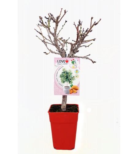 Almendro Enano Garden Prince 5l - Prunus dulcis - 03055002 (1)