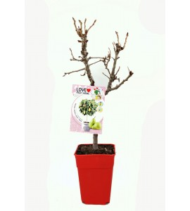 Peral Enano Garden Pearl 5l - Pyrus communis - 03055009 (1)