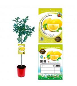 Limonero Eureka M-25 - Citrus x limon - 03051006 (0)