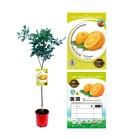 Naranjo M-25 - Citrus x sinensis