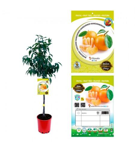 Mandarino 10 l (M-25) - Citrus reticulata - 03051015 (0)