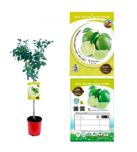 Lima 10 l (M-25) - Citrus × aurantiifolia - 03051004 (0)