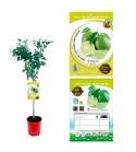 Lima M-25 - Citrus aurantiifolia