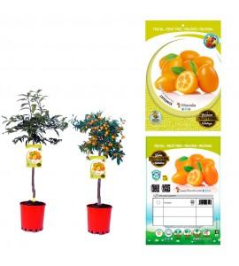Kumquat 10 l (M-25) - Fortunella margarita - 03051003 (0)