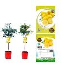 Limequat M-25 Copa - Citrofortunella × floridana