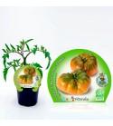 Tomate Raf M-10,5 Solanum lycopersicum