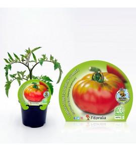 Tomate Esquenaverd M-10,5 Solanum lycopersicum - 02025010 (1)