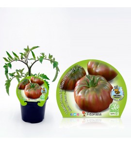 Tomate Negro de Crimea M-10,5 Solanum lycopersicum - 02025144 (1)
