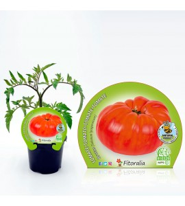 Tomate Brutus M-10,5 Solanum lycopersicum - 02025136 (1)
