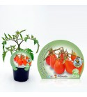 Tomate Cherry Red Pear M-10,5 Solanum lycopersicum