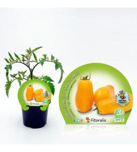 Tomate Banana Legs M-10,5 Solanum lycopersicum - 02025131 (1)