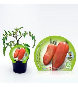 Tomate Corno M-10,5 Solanum lycopersicum - 02025009 (1)