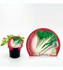 Acelga Verde M-10,5 Beta vulgaris