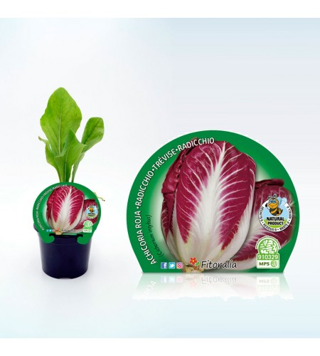 Justo de tamaño Achicoria Roja M-10,5 Cichorium intybus - 02025085 (1)