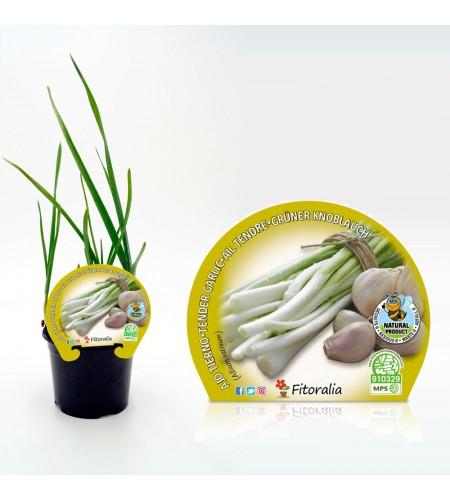 Ajo Tierno M-10,5 Allium sativum - 02025133 (1)