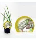 Ajo Tierno M-10,5 Allium sativum