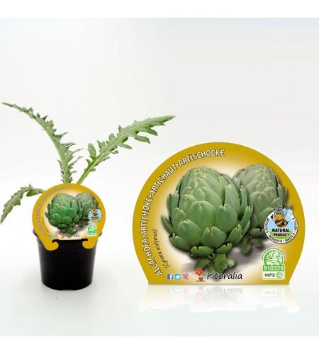 Alcachofa M-10,5 Cynara scolymus - 02025061 (1)