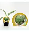 Alcachofa M-10,5 Cynara scolymus