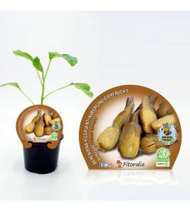 Berenjena Almagro M-10,5 Solanum melongena - 02025031 (1)