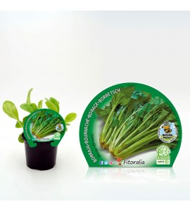 Borraja M-10,5 Borago officinalis - 02025083 (1)