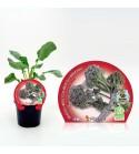 Brócoli Sprouting M-10,5 Brassica oleracea var. italica