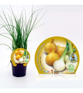 Cebolla Babosa M-10,5 Allium cepa - 02025066 (1)