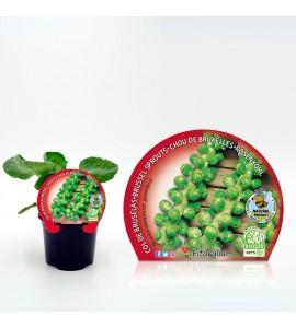 Col Bruselas M-10,5 Brassica oleracea var. gemmifera - 02025051 (1)