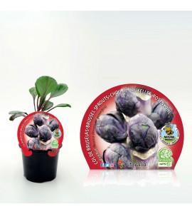 Col Bruselas Morada M-10,5 Brassica oleracea var. gemmifera - 02025158 (1)