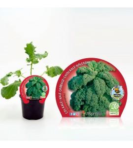 Col Kale M-10,5 Brassica acephala - 02025134 (1)