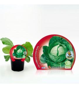 Col Redonda Lisa M-10,5 Brassica oleracea var. capitata - 02025100 (1)