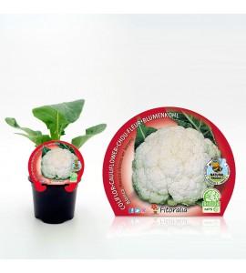 Coliflor Blanca M-10,5 Brassica oleracea var. botrytis - 02025055 (1)