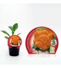 Coliflor Jaffa M-10,5 Brassica oleracea var. botrytis