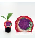 Coliflor Morada M-10,5 Brassica oleracea var. botrytis