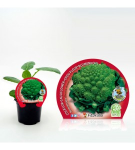 Coliflor Romanesco M-10,5 Brassica oleracea var. botrytis - 02025057 (1)